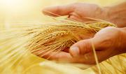 Продам пшеницу фуражную 1000 тонн!