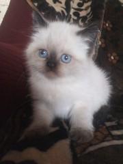 Продам очарововательного котёнка